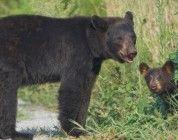 Estudio demuestra que los osos supervisados por drones son estresados