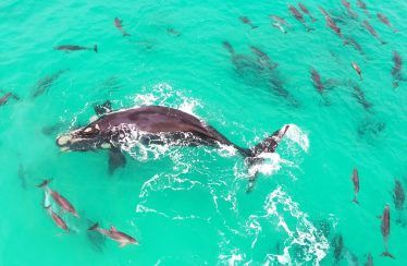Vídeo de una ballena rodeada de delfines en ojos de un Inspire 2